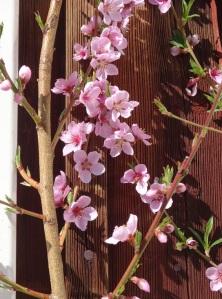 Persikan blommar